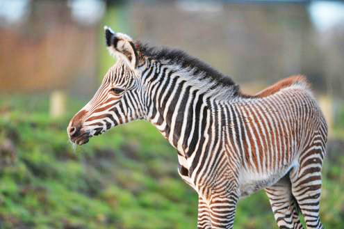 The new Grevy's filly, who was born at Chester Zoo at the weekend.