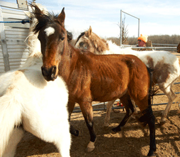 The horses are now in the care of the Humane Society of Missouri,