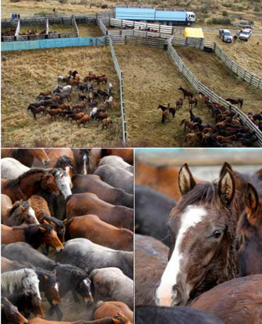 Horses in the yard in a previous muster. Photo: Kaimanawa Heritage Horses Society
