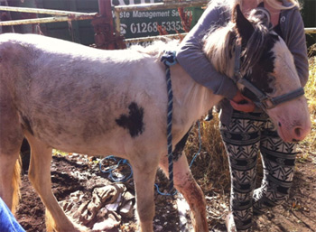 A broken leg resulted in the euthanasia of this piebald yearling in England. Photo: British RSPCA