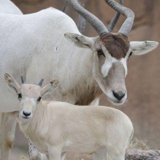 New baby addax Elsa, with her mum, Fola.