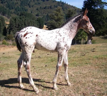 Engstrom has used only foundation lines on her appaloosa stud farm.