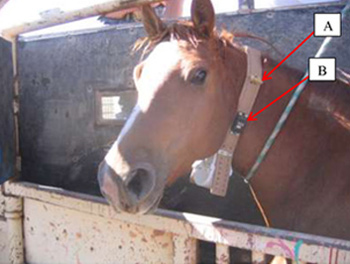 "An adult free-roaming horse during collar deployment. ""A"" shows a breakaway device constructed of rubber tubing. ""B"" is a breakaway device which operates on a pre-programmed time-release."