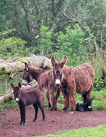 A family affair: A Pitou donkey family is settling in at Redwings. Photo: Redwings
