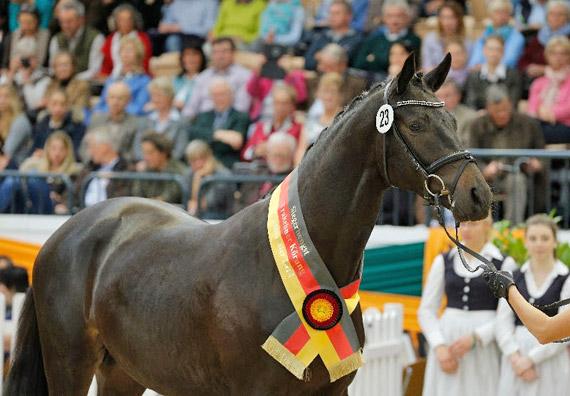 Sir Sansibar, Champion Stallion and highest priced lot at the Trakehner Stallion Market. He fetched 300,000.