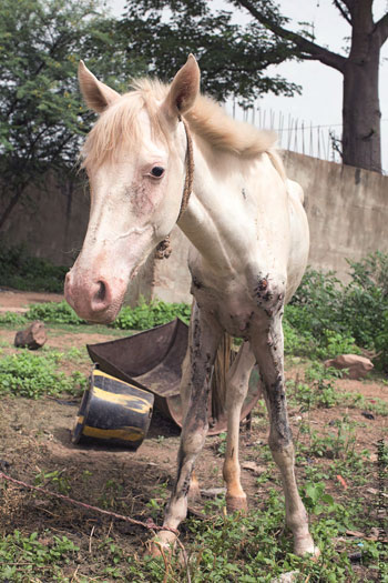 A horse with Epizootic Lymphangitis (EZL), a painful and contagious fungal disease affecting up to 30 per cent of Ethiopia's cart horse population.