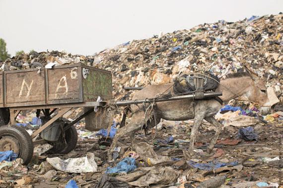A donkey at work at a rubbish dump in Mali.