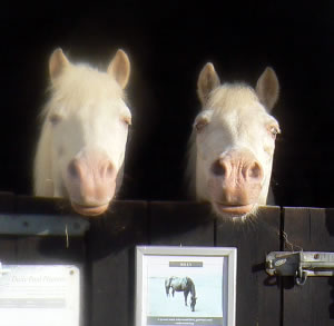 Bill and Ben look for mischief at the Veteran Horse Centre.