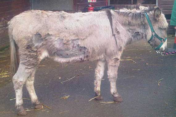Cheeky the donkey is recovering after suffering puncture wounds.