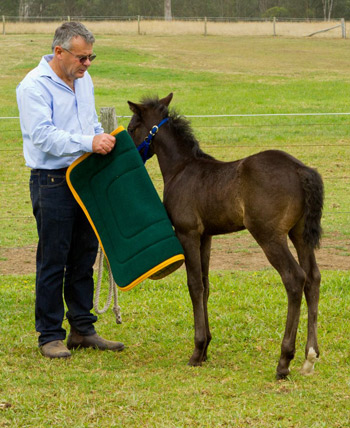 After a week or so of lessons I introduce a saddle cloth to this foal.