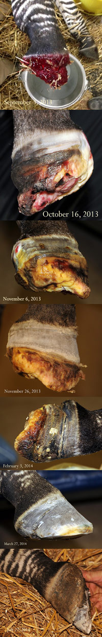 The progression over time as Zippy's hoof regrew.