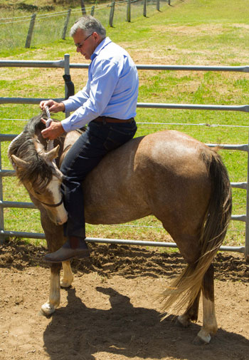 Horses find it very easy to accept a rider bareback for their first ride.