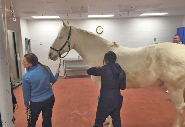 Jake undergoes pre-surgical checks before his operation at Purdue University's Large Animal Hospital. Photos: IMPD Mounted Patrol/Facebook