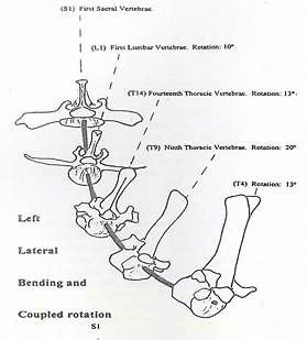 This diagram, created by Jean Marie Denoix, DVM, PhD, illustrates a left lateral bending coupled with a rotation shifting the dorsal spines to the left. This rotation, which is the correct rotation, is referred to as right rotation since the ventral part of the vertebral bodies is facing right.