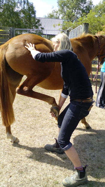 A massage therapist will ask the horse to pick up its feet to check for flexibility.