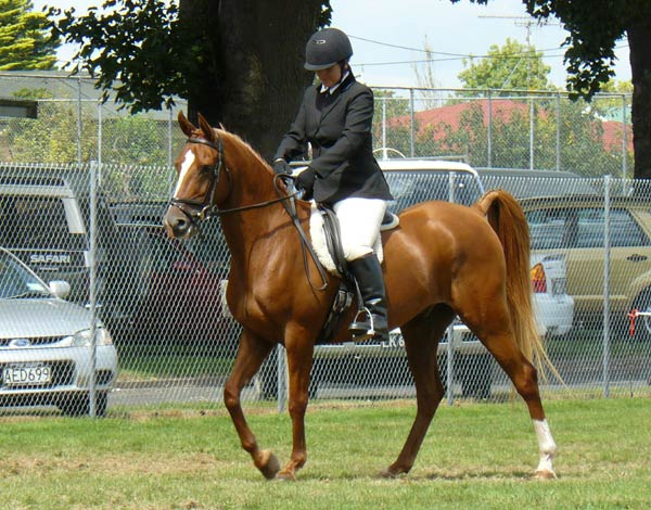 Arahi Tahi (Ranaarb x Arahi Amiria /Puketahu Mazada), bred by Melanie Barker, and now owned and Ridden by Natasha Guest. They're pictured at Putaruru A&P Show in 2011.
