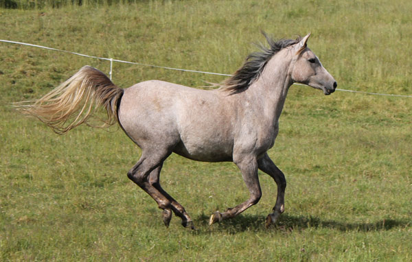 Aurora Rheemah (Silver Omen x Fenwick Regenta)