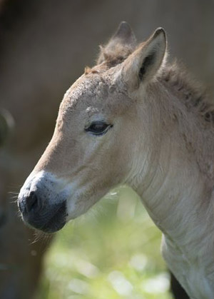 A new Przewalski's horse foal at The Wilds.