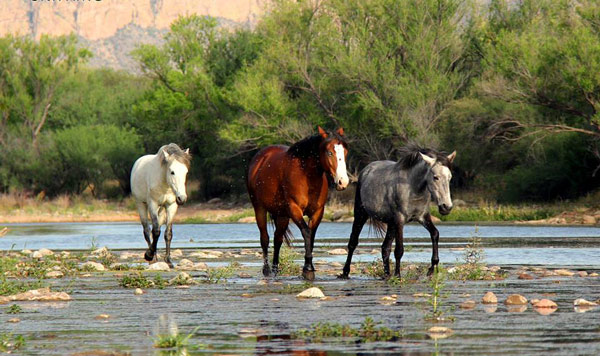 US lawmakers have written to authorities seeking to stop the muster. Photo: Salt River Wild Horse Management Group