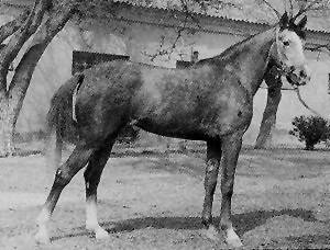A Deliboz horse. From Animal Genetic Resources of the USSR, by NG Dmitriez and LK Ernst.