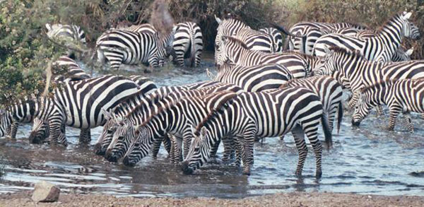 Zebras in Serengeti National Park, Tanzania. Photo: CodeisPoetry (CC BY-SA 3.0)