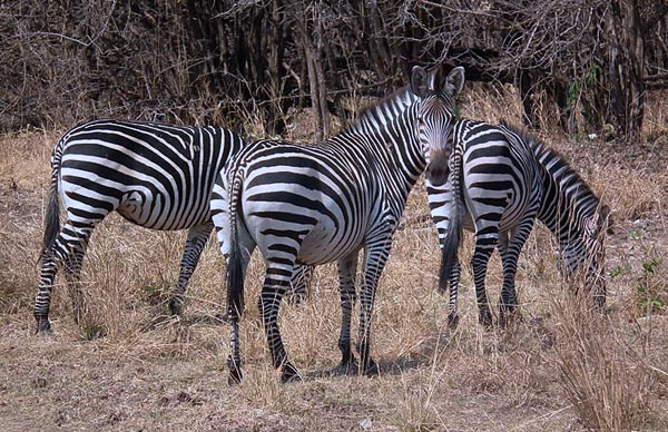 The rare Crawshay's Zebra, a subspecies of the pains zebra, is native to eastern Zambia, east of the Luangwa River, Malawi, southeastern Tanzania and northern Mozambique south to the Gorongoza District.