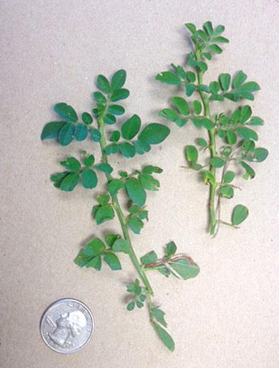 Indigo spicata specimens obtained at the University of Florida. Photo: University of Florida