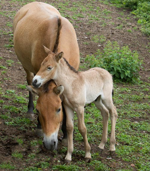 The new Przewalski's Horse foal with his mum at the Port Lympne Reserve in Kent.