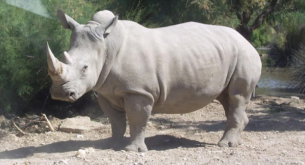 A white rhinoceros. Photo: Coralie (Own work) CC BY-SA 3.0, via Wikimedia Commons