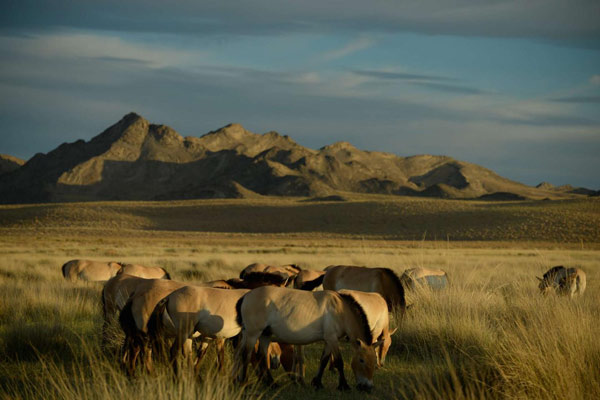 Reintroduced Przewalski's horses at the Seer reserve, in Khomiin Tal, Mongolia. Photo: Claudia Feh, Association pour le cheval de Przewalski: TAKH, Le Villaret, F 48125 Meyrueis Tak.