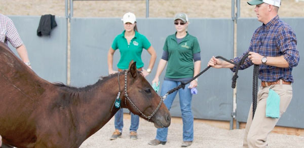 Dr Luke Bass, head of Colorado State University's Equine Field Service, helps a horse stand up after surgery.