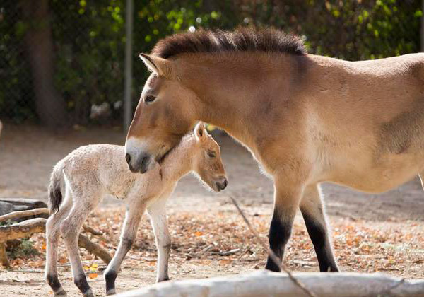 The new colt foal with his mum. He is only the second Przewalski's Horse foal to be born at the zoo since 1991.