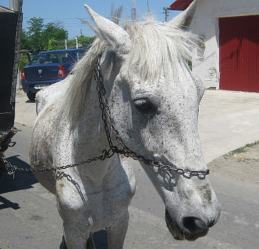 This working horse, named Big Bang, is only 17.