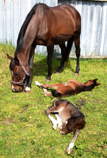 The twins at 14 days old. At three weeks old, the pair look and act as if they are two-day-old foals.