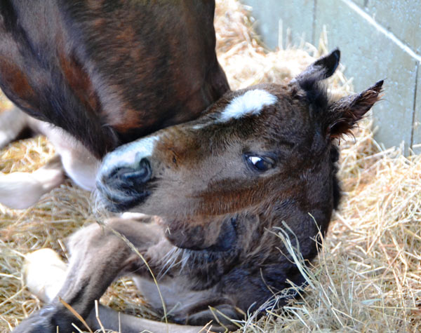 Tiny Poppet at only four hours old gets a snuggle from mum.