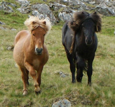 Faroe Ponies on the Faroe Islands.