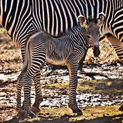 Oklahoma Zoo's new Grevy's Zebra foal.
