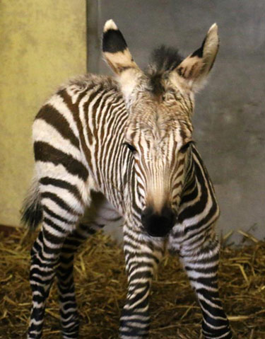 The Hartmann's mountain zebra colt foal was born to Fernando and Helene.