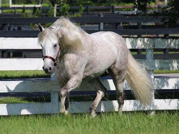 Mangalarga Marchador stallion Imperador das Aguas JM is this year's BreyerFest Carnival Celebration Horse.