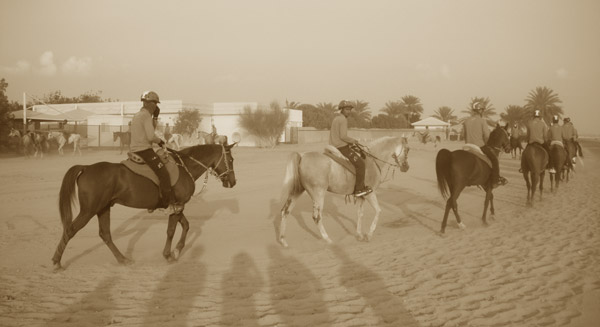 A team of endurance horses return from their daily exercise.