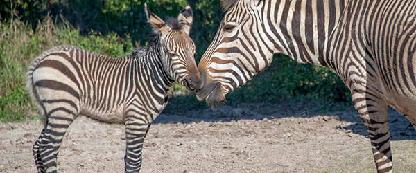 The birth of a Hartman's Mountain Zebra filly foal follows a Grevy's Zebra filly born in late November at Florida's Lowry Park Zoo.
