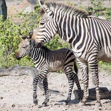 The new Hartman's Mountain Zebra foal born this month at Florida's Lowry Park Zoo.