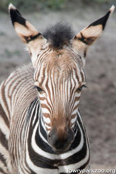 Lowry Park Zoo's new Hartmann's Mountain Zebra foal.