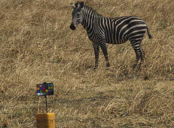 A zebra grazing on the grassy plains stares at the researchers' chart used for color-calibrating images. Photo: Tim Caro/UC Davis