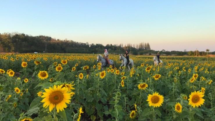 Horse-Riding-Thailand-Bangkok-Khaoyai-Sunflower