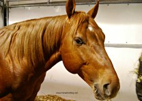 Horse at Can-Am All Breeds Equine Expo