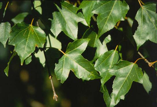 Trident Maple  Tree selection  Landscape plants  Edward