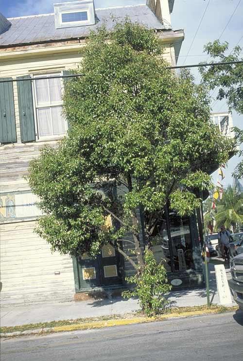 Jamaica Caper Tree Selection Landscape Plants Edward