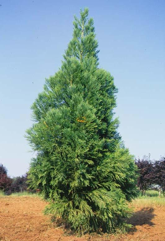 Japanese Cedar Tree Selection Landscape Plants