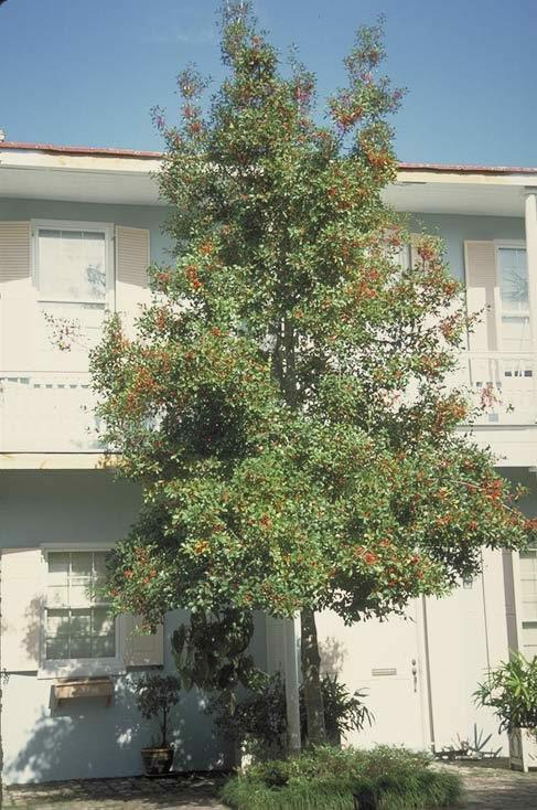 Savannah Holly  Tree selection  Landscape plants